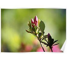 Lovely Spring Azalea Bud Bursting Forth Poster