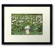 Lotus blossom field Siem Reap Framed Print