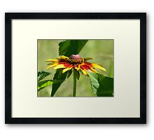 Plains Coreopsis Framed Print