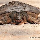 Florida Softshell Turtle (Apalone ferox) by Jeff Ore