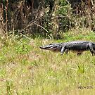 Gator Walking by Jeff Ore