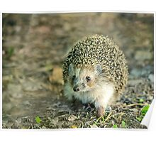 Young hedgehog in natural habitat Poster