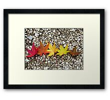 Maple leaves at different colours of autumn Framed Print