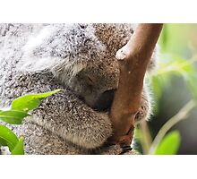 Sleeping Koala Photographic Print