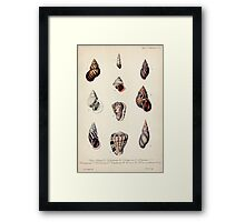 Proceedings of the Zoological Society of London 1848 - 1860 V5 Mollusca 041 Framed Print