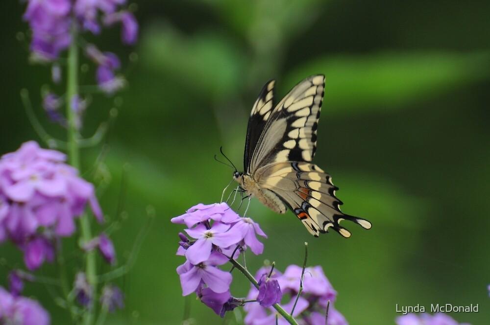 Giant Swallowtail- Papilio cresphontes by Lynda   McDonald