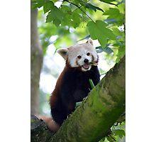 red panda on tree branch Photographic Print