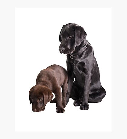 two labrador retriever puppies Photographic Print