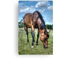 Horse in Field (2) Canvas Print