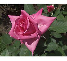 Rosy Rose Photographic Print
