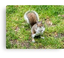 Grey squirrel on some grass Canvas Print