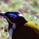 Blue face Honey-eater at Rainbow Beach by myraj