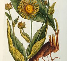 Elecampane by Bridgeman Art Library