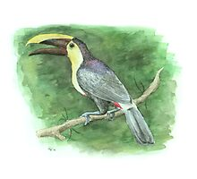 Chestnut-mandibled Toucan Photographic Print