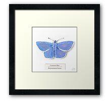 Common Blue on White Framed Print