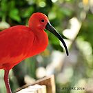 Scarlet Ibis (Endocimus ruber) by Jeff Ore