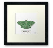 Large Emerald Moth on White Framed Print