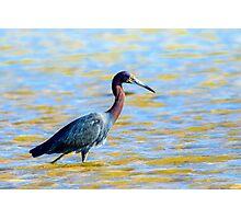 Little Blue Heron At Fort De Soto Photographic Print
