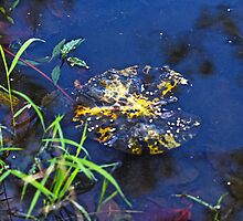 Evening Encloses The Aging Lily Pad by MotherNature2