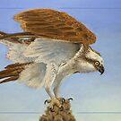 Take-off - Osprey (Pandion haliaetus) by Laura Grogan