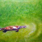 Afloat - Platypus (Ornithorhynchus anatinus) by Laura Grogan