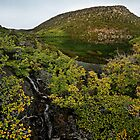 Mt. Field Fagus by Robert Mullner