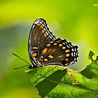 Red Spotted Purple Butterfly on a Leaf by Lee Hiller