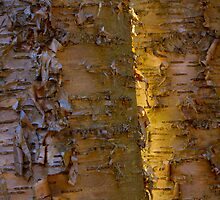 Sun and Yellow Birch by er1kksen