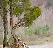 Zoar Redcedar (Juniperus virginiana) by er1kksen
