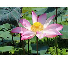 Pink lotus in a pond Photographic Print