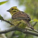 """ Yellowhammer In May "" by Richard Couchman"