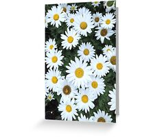 Daisys in bloom Greeting Card