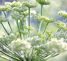 Fennel morning dew by pinkcatphoto