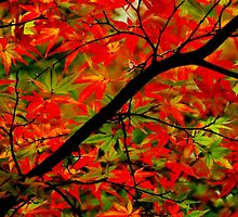 Japanese Maple by Gabrielle  Lees