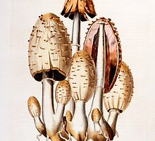 Fungi: Agaricus fimelarius by Bridgeman Art Library