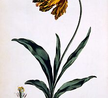 Tulip with Anoding Flower and Spear Shaped Leaves by Bridgeman Art Library