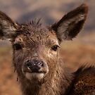 Red Deer Fawn by Lesley Williamson