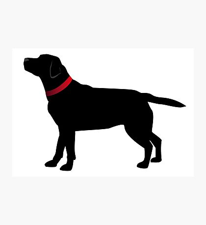 Black Labrador with Red Collar Photographic Print