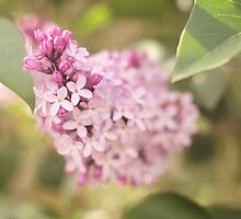 Lovely Lilacs by Tracy Friesen