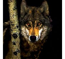 Wolf from Kaibab Forest in Arizona Photographic Print