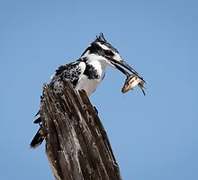 Pied Kingfisher With His Catch From The Chobe River by Robert Kelch, M.D.