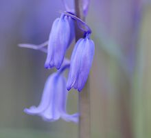 Bluebell by Stephen Smith