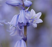 Bluebells by Stephen Smith