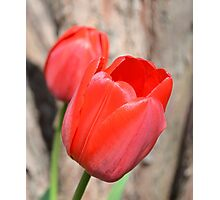 Two Red Tulips Photographic Print