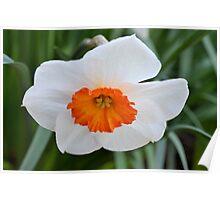 Small White and Orange Daffodil Poster