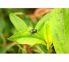 Fly on a Green Leaf Photographic Print