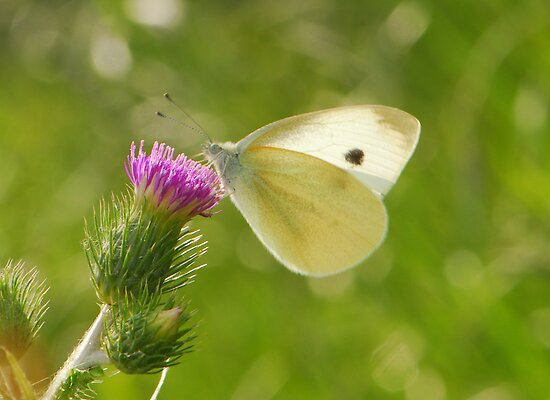 white butterfly by davvi