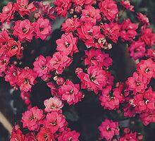 Hot Pink Kalanchoe by vivacity