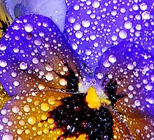 Pansy  by Tori Snow