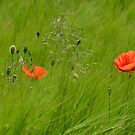 Poppies in Wheat Field by jojobob